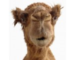 Google и Верблюд